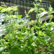 紫蘇の実収穫