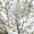 今日の歳時記。花水木