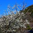 『桜咲く』 山桜