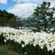 池田城跡公園のユリ