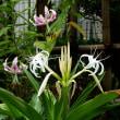 ハマユウの花とカノコユリの花
