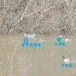 エナガ&水鳥たち