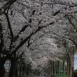 3/27、桜。