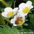 とちおとめ開花 蜜蜂回るまわる