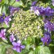 あじさいの杜 紫陽花写真集