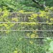 東慶寺 高砂百合、仙人草、花虎の尾