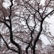 川越中院で枝垂桜のお花見❤