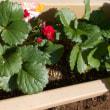 プランターに植えたイチゴ、ローズベリーが花をつけているではないか。一ヶ月前に植えたばかりでもう咲いたの?