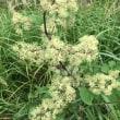 タデ原湿原の花