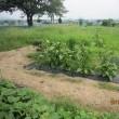 畑の整理2・・・