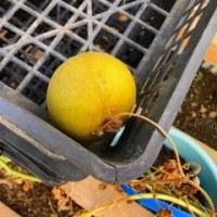 立冬過ぎた果実たち