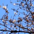 相模原「第45回 市民桜まつり 2018」を前に開花し始める!!