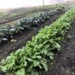 秋野菜の畑