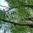白神山地のマザーツリー【青森県西目屋村】