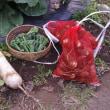 収穫とメキャベツ
