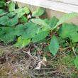 ビワの木、食べたタネからでも十分育ちます。