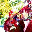 秋を彩るハナミズキの葉と実です。