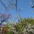 「梅」/神代植物公園