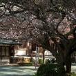 2018 春を告げる鎮国寺の淡紅梅 《宗像市玄海町鎮国寺》