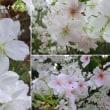 結桜の花は