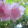 最後の「八重桜」?