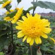 コヒマワリ 小向日葵