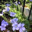 アマ(亜麻)のお花