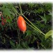 実りの秋も深まり…(^^♪カラスが好んで食べるからかカラスが食べのこしたように見えるからか 名前は「カラスウリ」