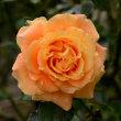旧古河庭園のバラ(万葉)・・3