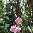 カノコユリ開花