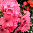 薔薇の咲くころ Ⅱ ~「The Rose」
