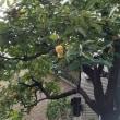 ご近所の柿