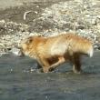 キタキツネは川を渡って向こう岸へ