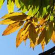 クヌギの葉が陽を受けて