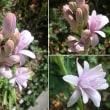 チューベローズの花は