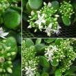 カネノナルキの花は