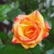 あさいちのバラ