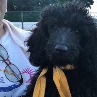 ミディアムプードル ノッコさん子犬