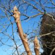 大きな冬芽 オニグルミ(鬼胡桃)かも?