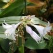 ギボウシの花々