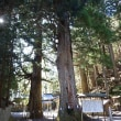 浜松市天竜区水窪・山住神社の杉