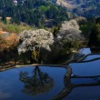 儀明の桜に朝の光が シリ-ズⅢ