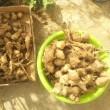 菊芋が豊作