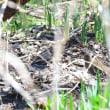 草の陰に、クイナが現れた。