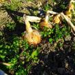 小さいタマネギの収穫