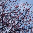 新川の梅の花