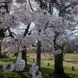 満開の古典桜を探す旅