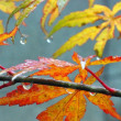 雨のモミジ