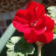 Julieday前日の眩しい深紅のカリオペ