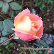 レディエマハミルトンがもうじき開花します